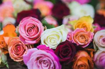 assorted color of rose flowers
